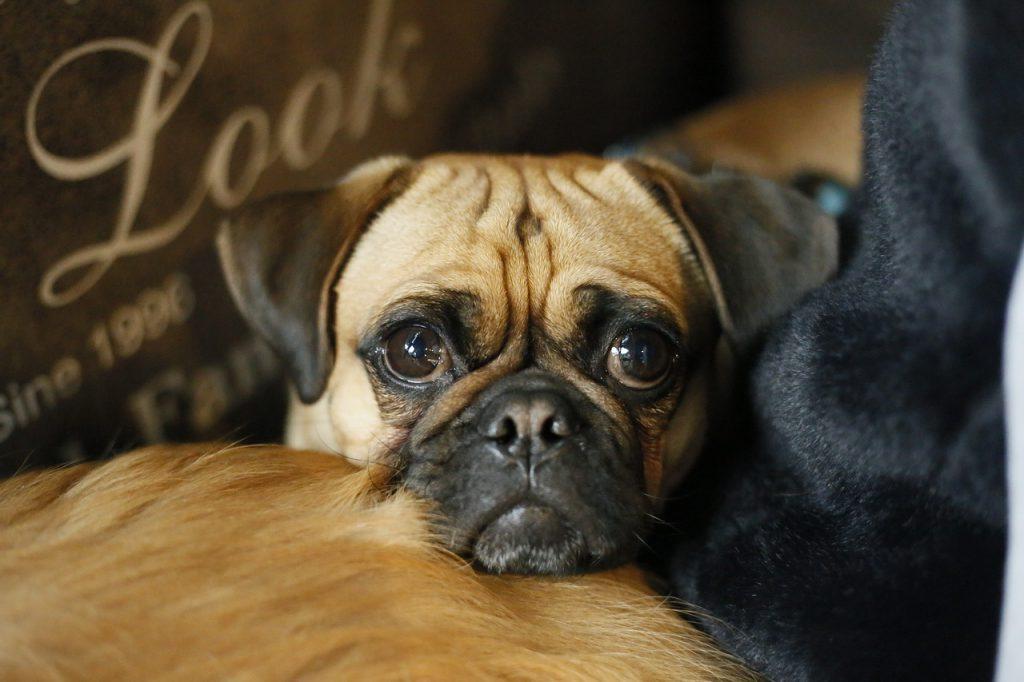 강아지 주름