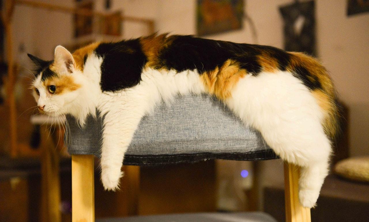 고양이 변비