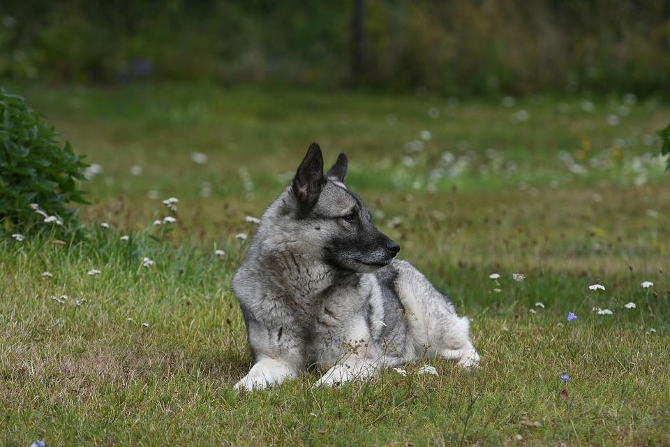 강아지 청각 - 노르웨이안 엘크하운드