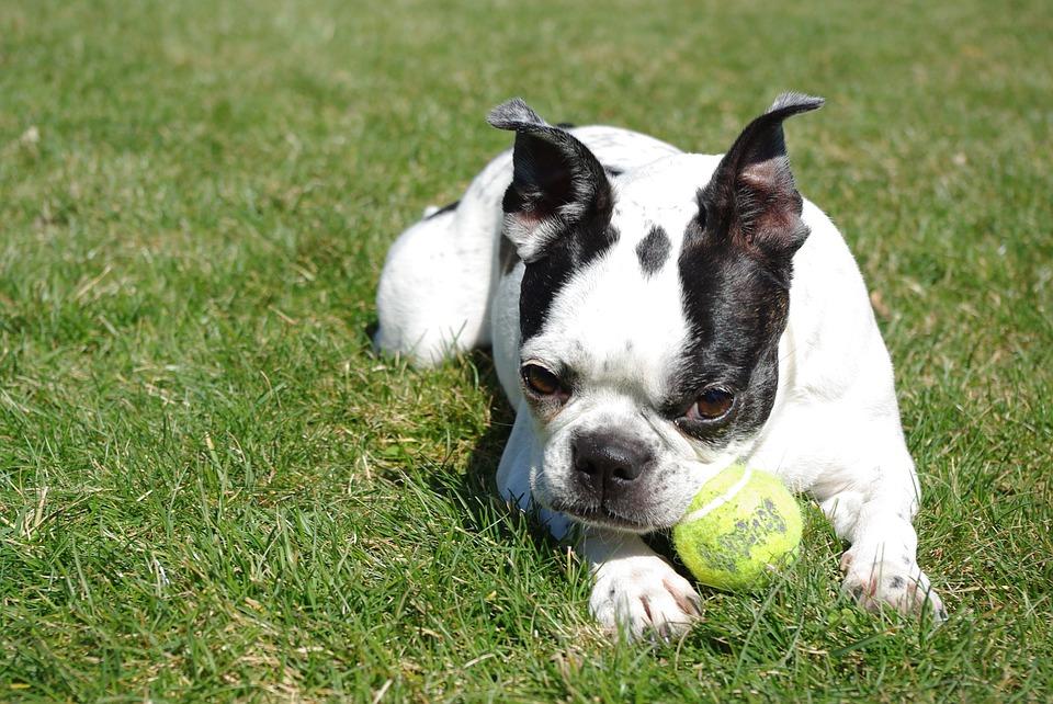 강아지 청각 - 보스턴테리어