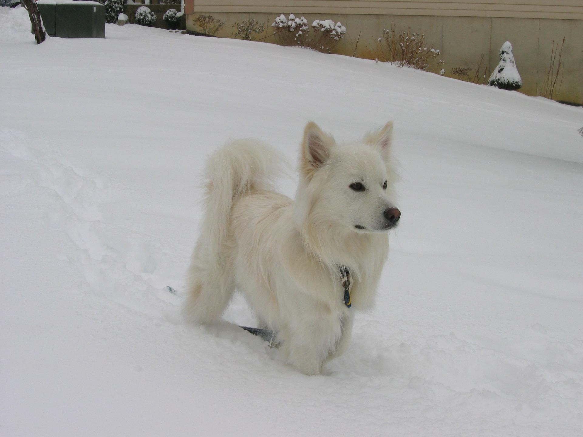 강아지 청각 - 스피츠