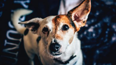 강아지 치매