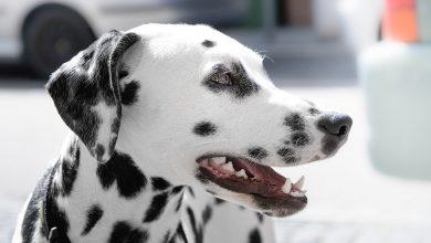 강아지 잇몸질환