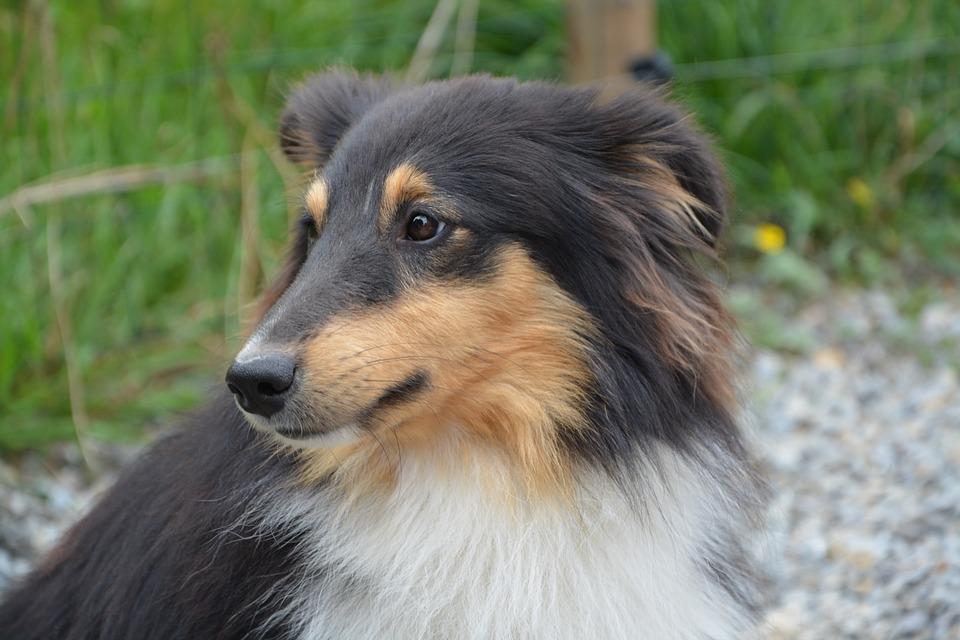 강아지 트라이칼라