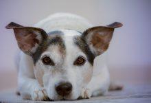 강아지 췌장염