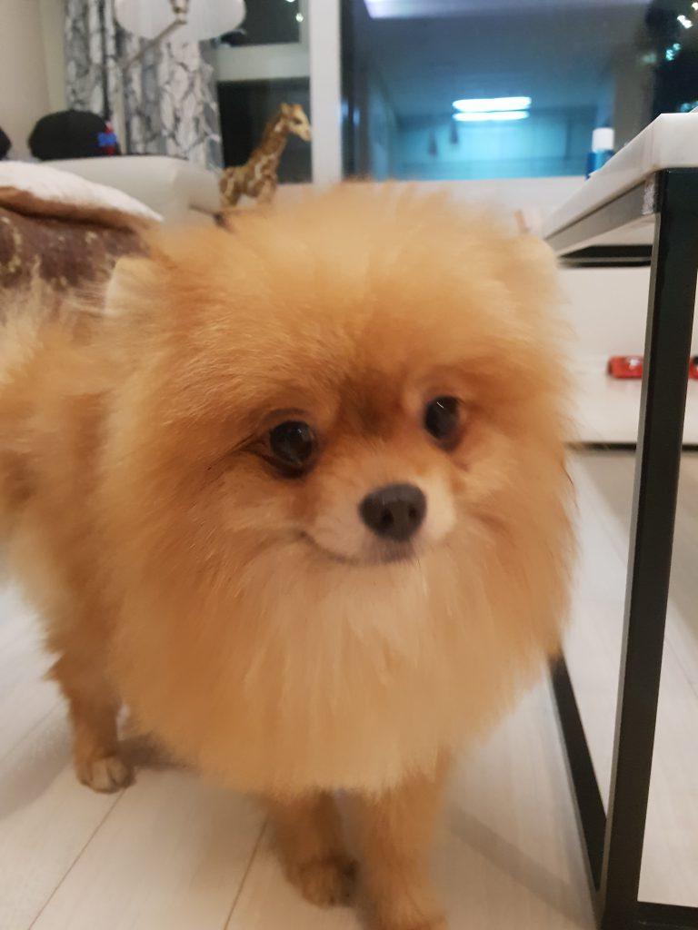 강아지 치주염