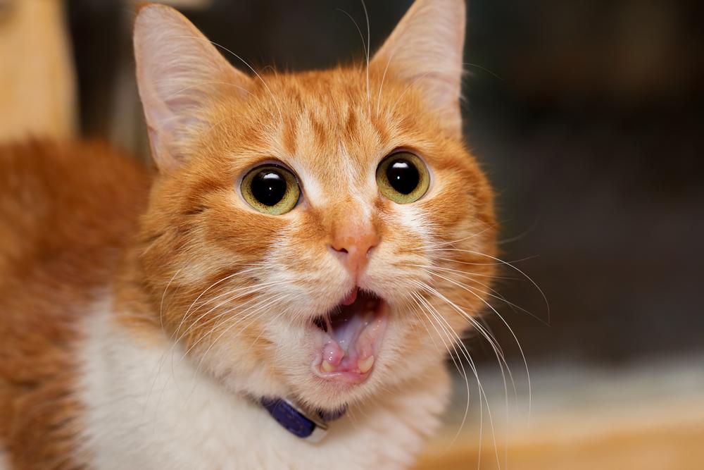 고양이 오이