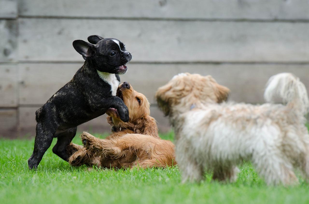 강아지끼리 놀기