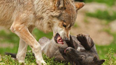 강아지 싸움