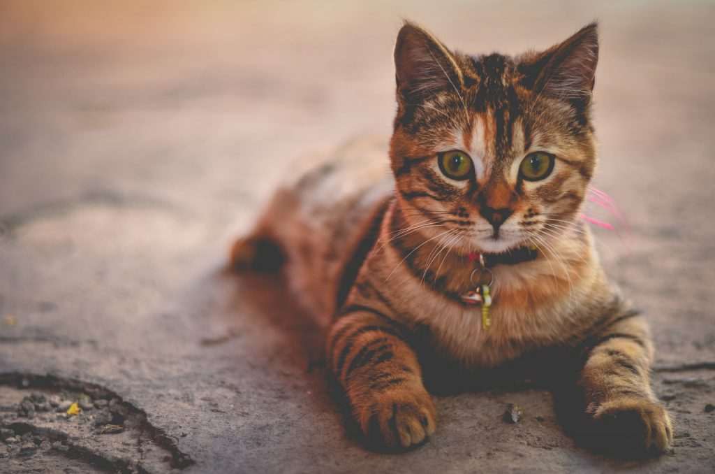 고양이 언어
