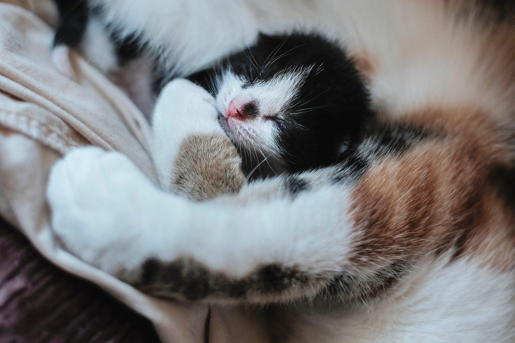 고양이 임신