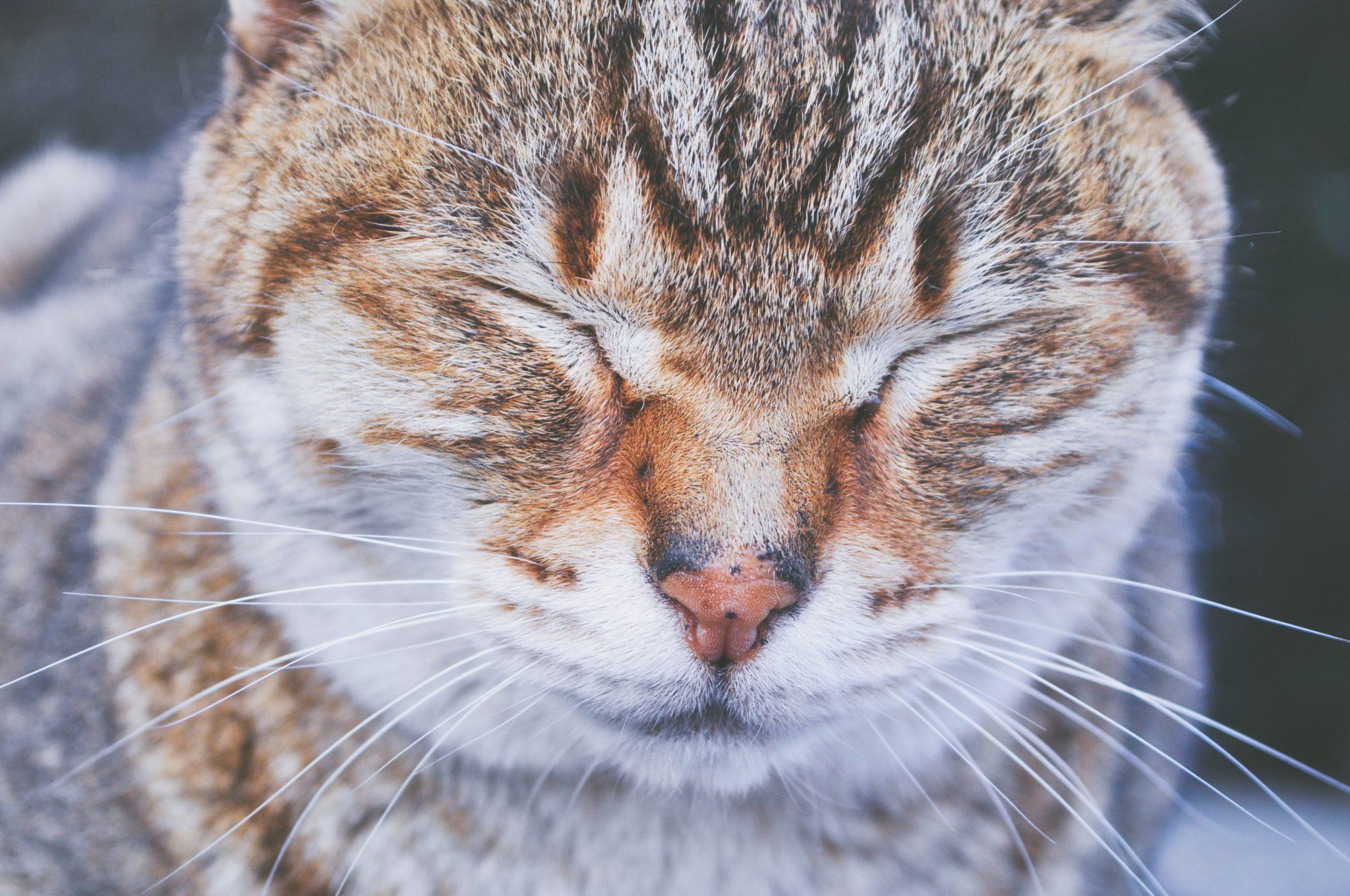 고양이 눈병
