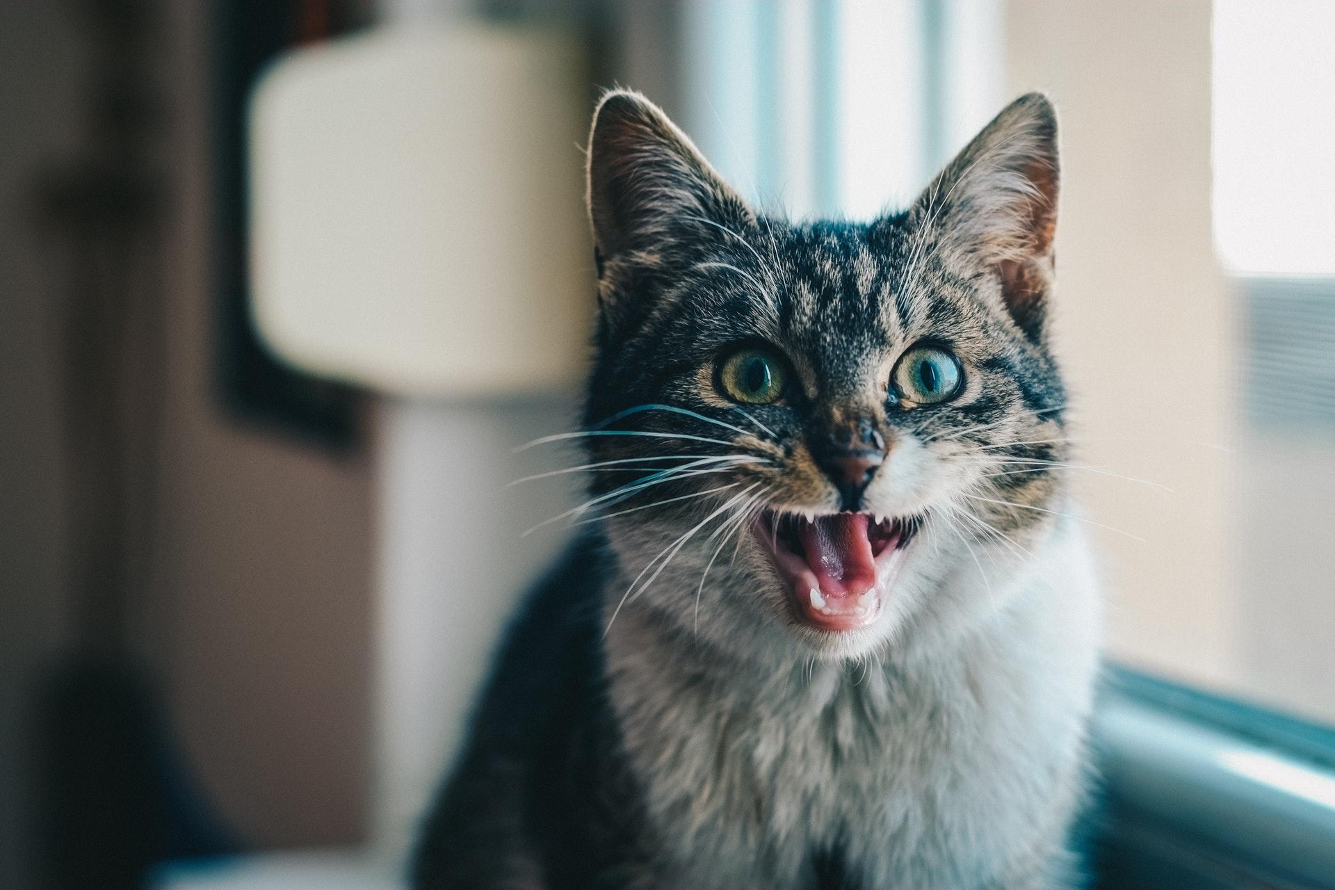 고양이 하악질