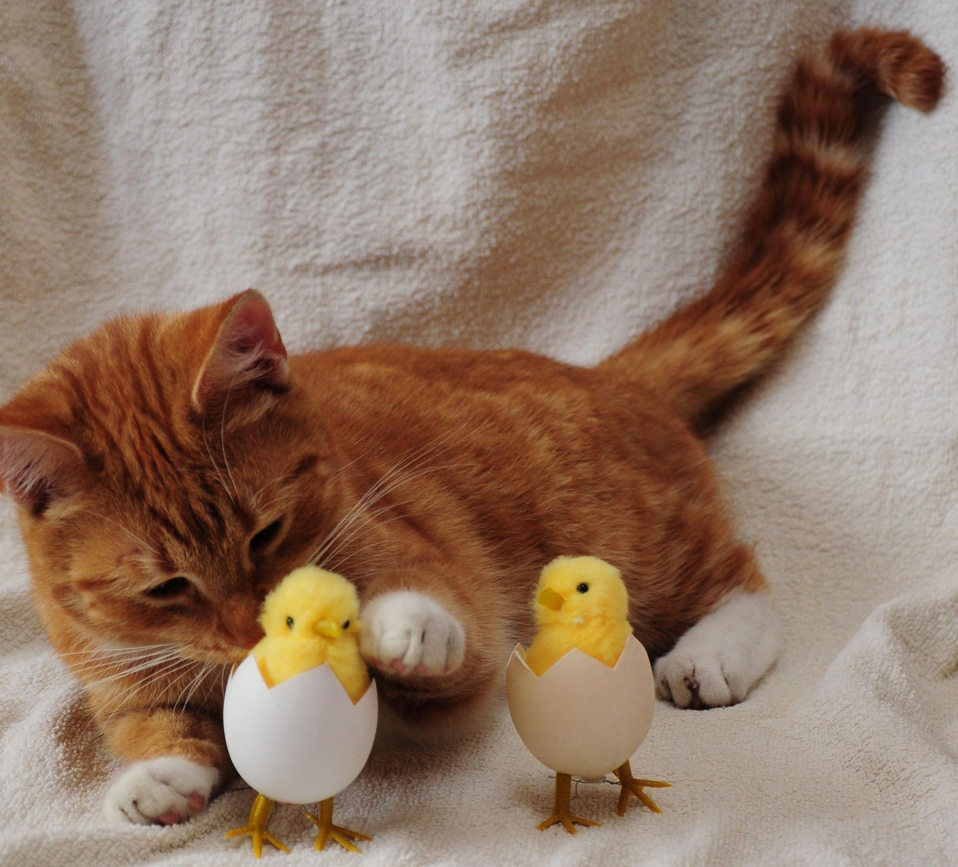 고양이 닭고기