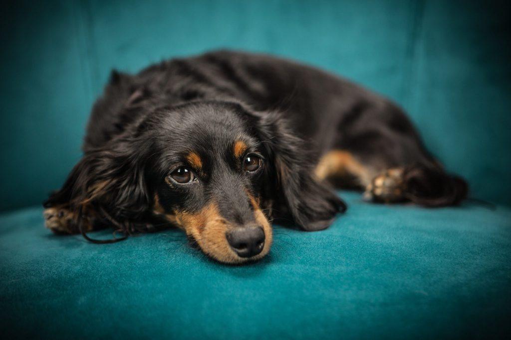 강아지 기침
