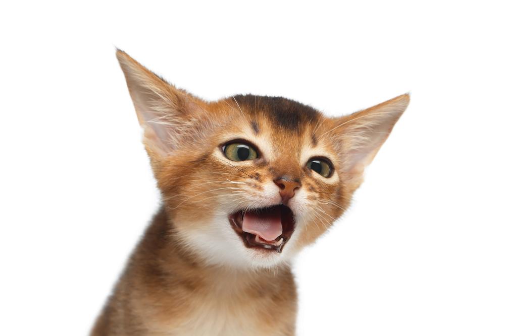 고양이 기침