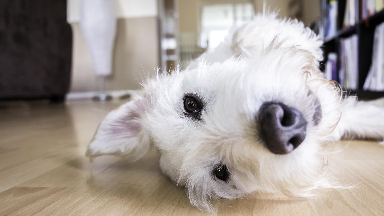 강아지 자일리톨