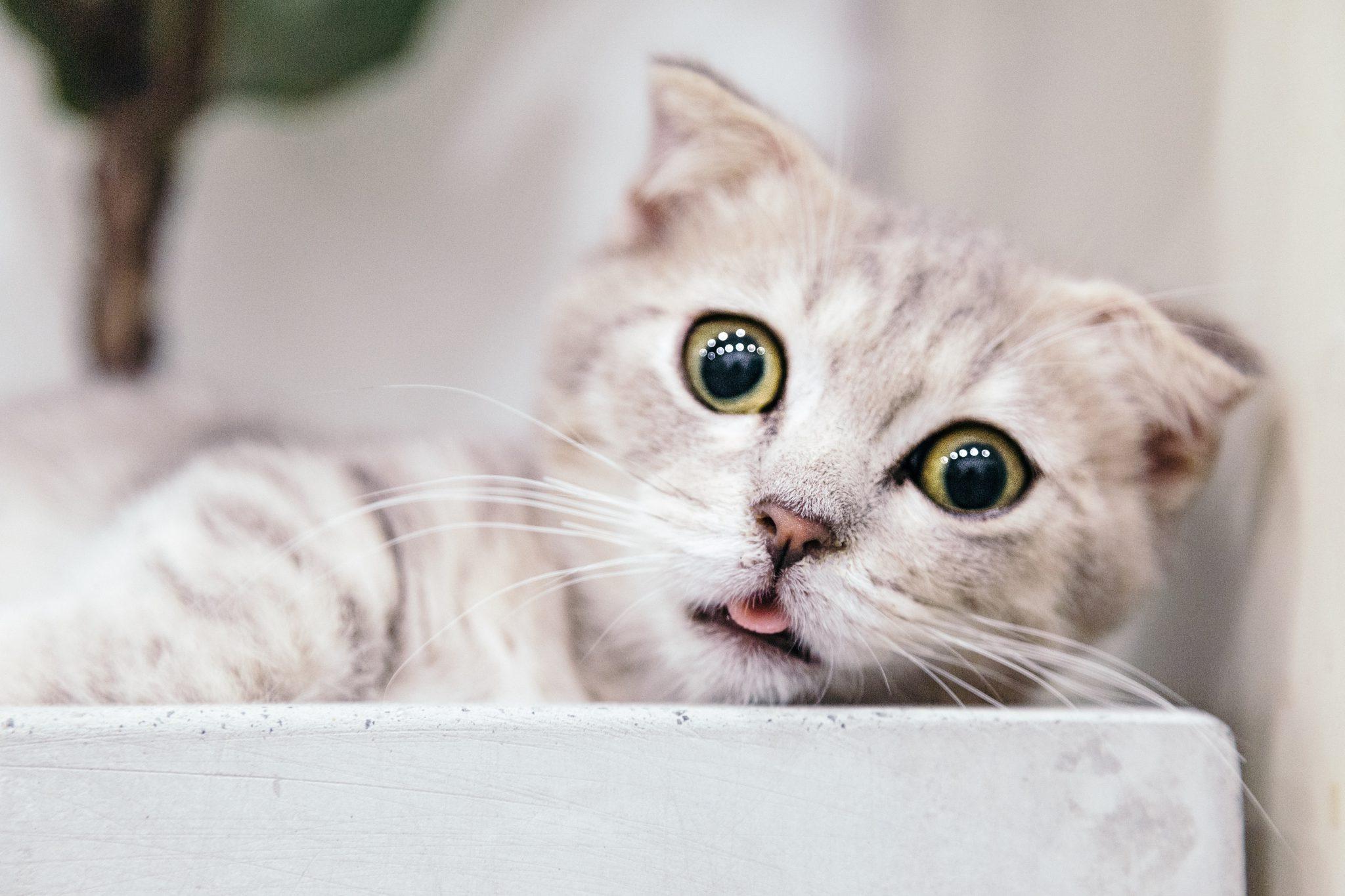 고양이 혀 메롱