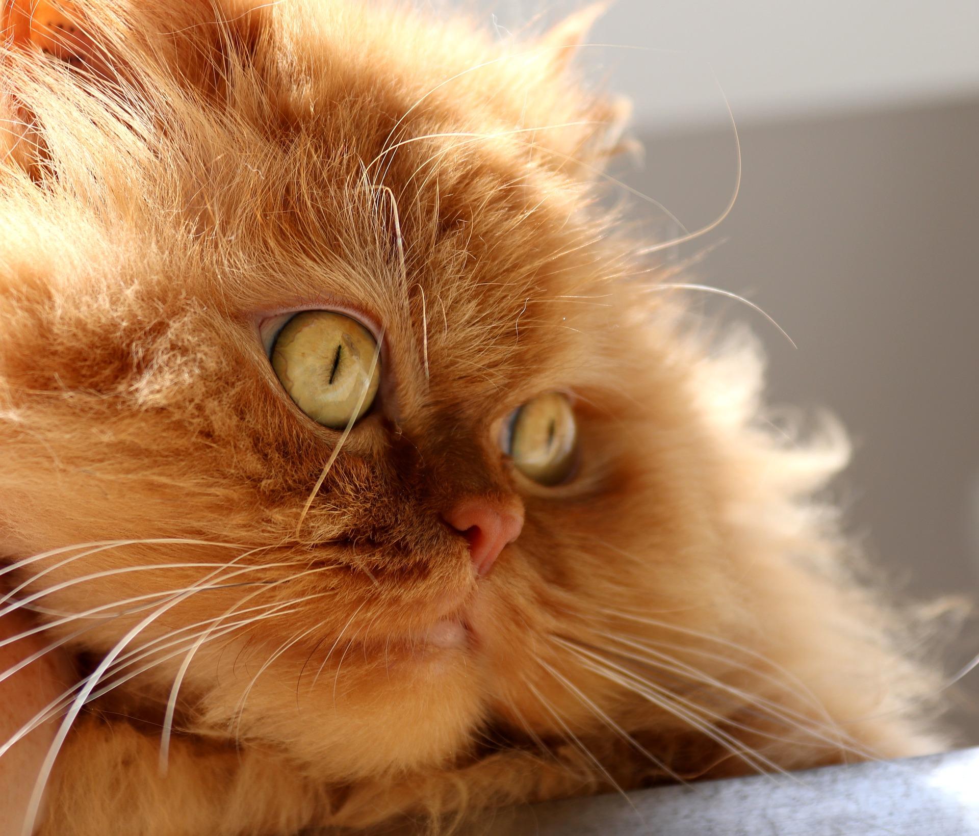 페르시안 고양이