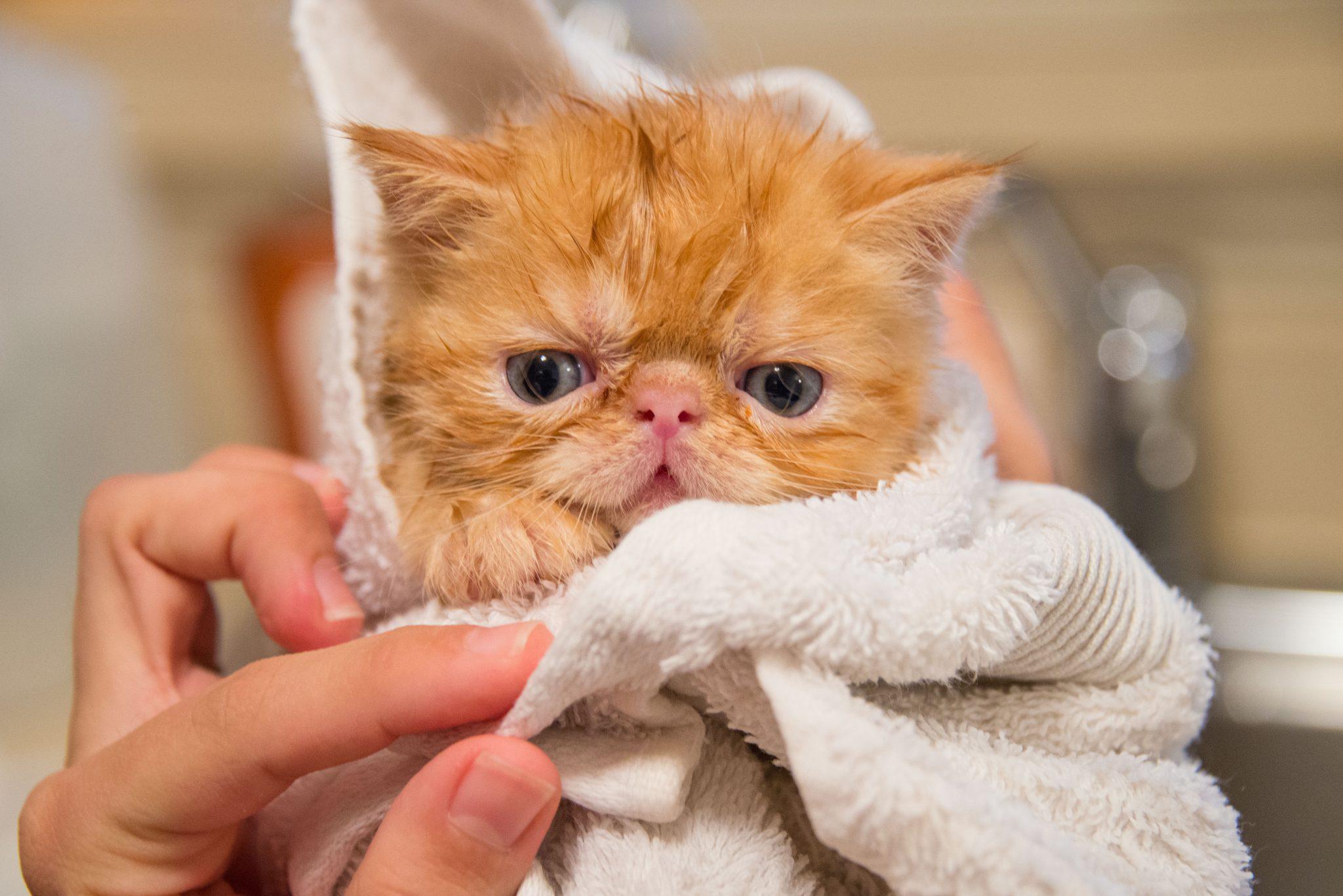 목욕 싫어하는 고양이