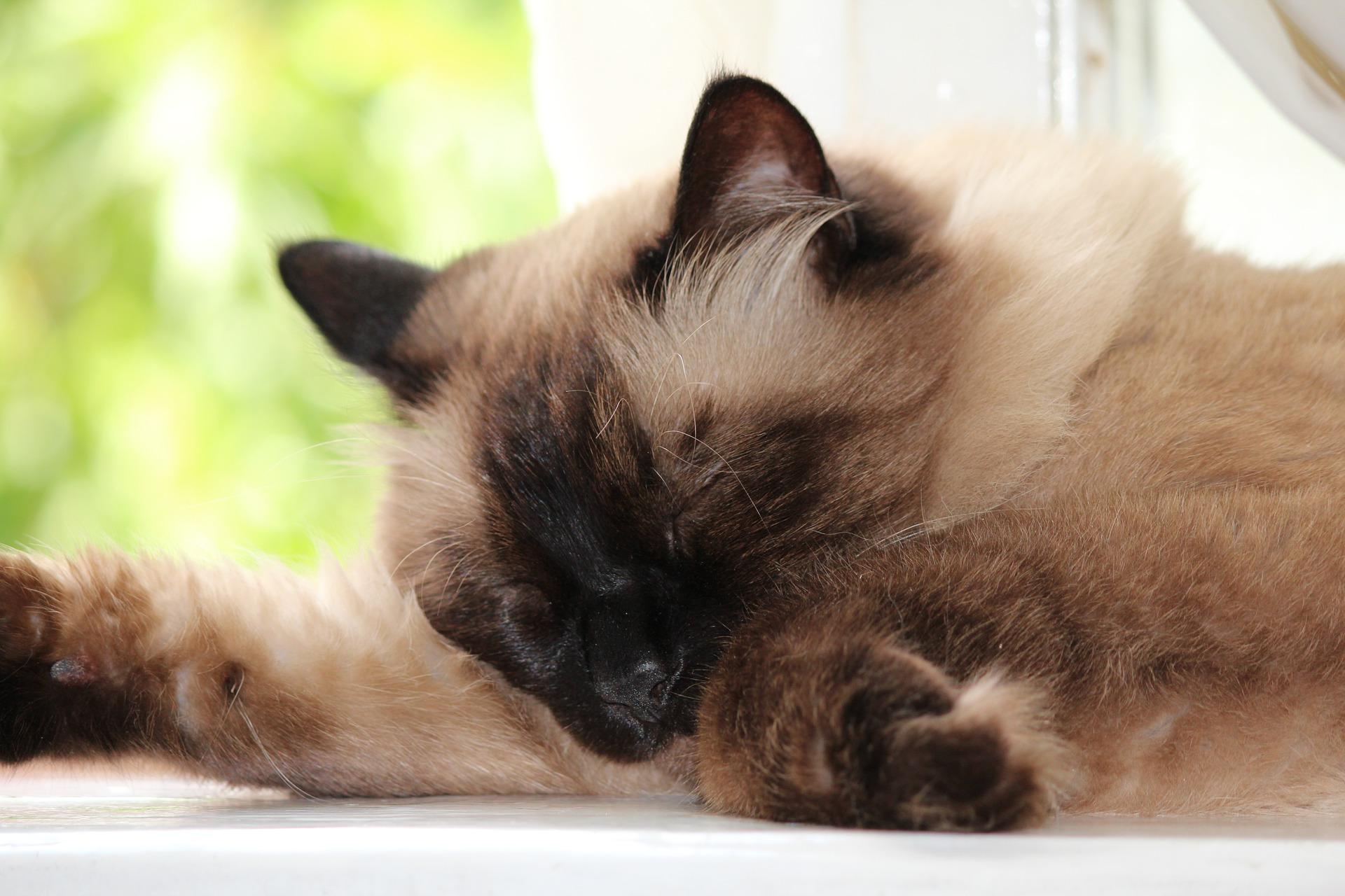 고양이 갑상선 기능항진증