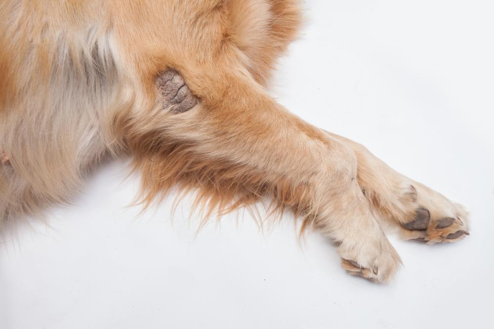강아지 검버섯