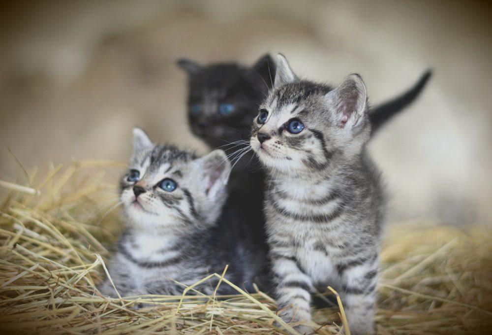 고양이 새끼 눈 색