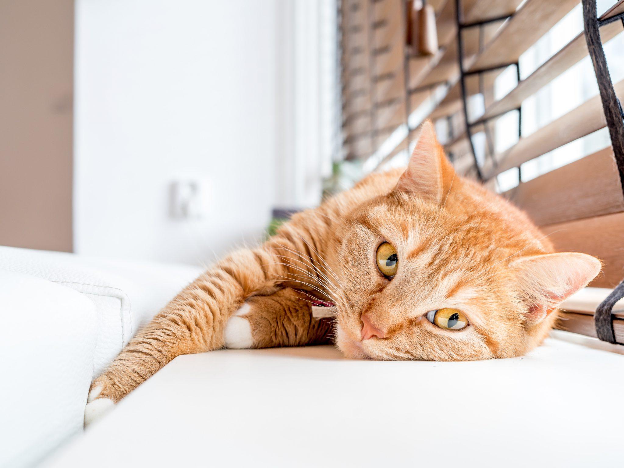 고양이 복막염