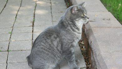맹크스 고양이