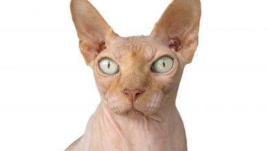 털 없는 고양이