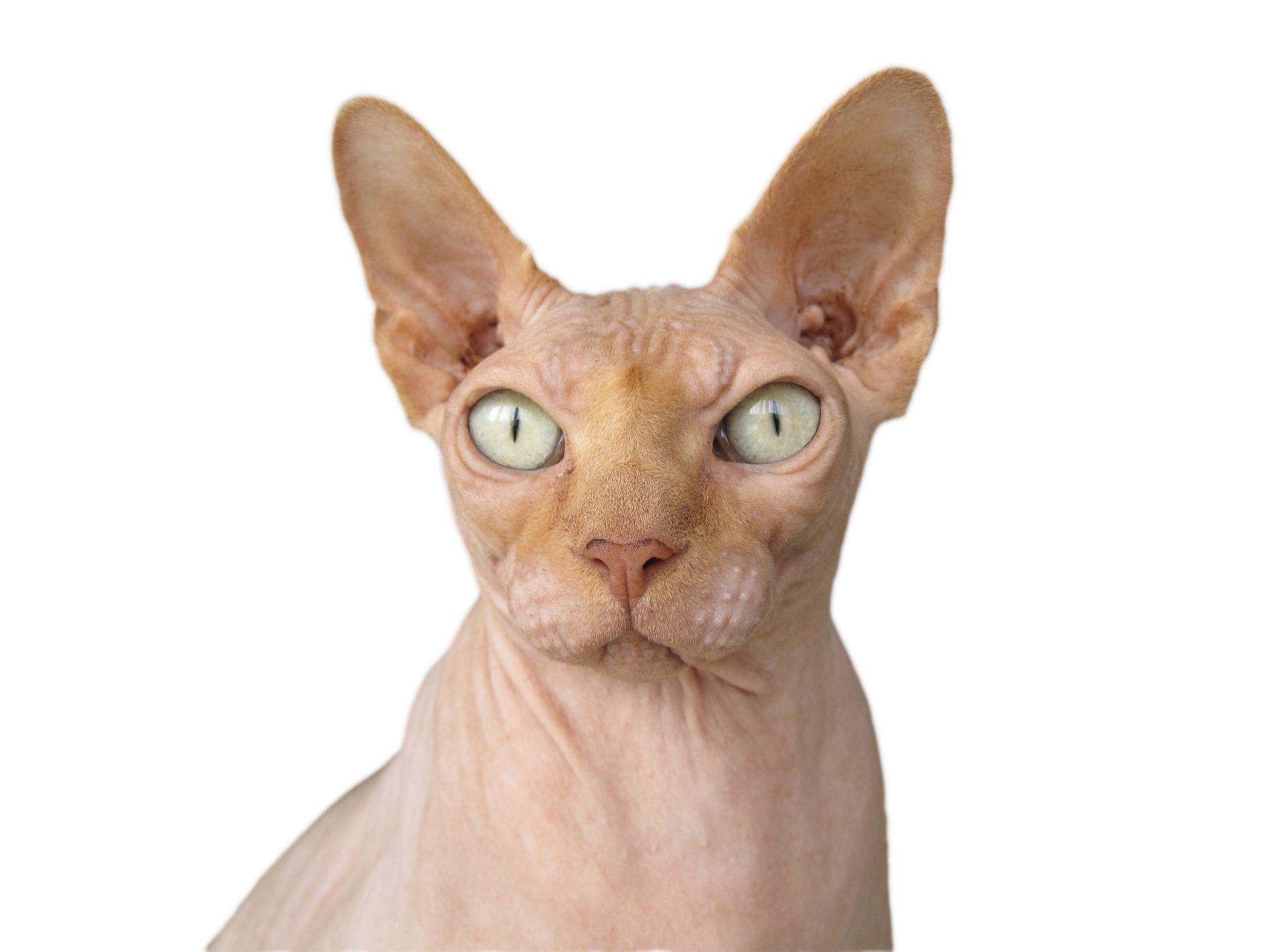 털 없는 고양이 스핑크스 고양이에 대한 모든 것   반려동물   F.E