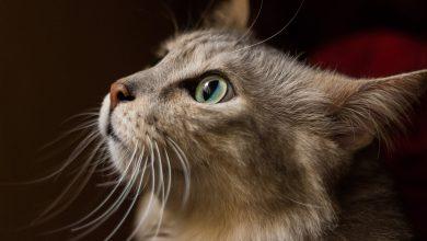 고양이 면역력