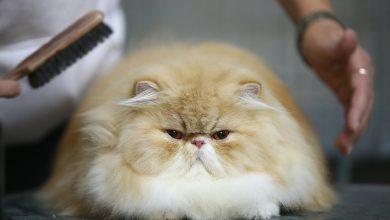 장모종 고양이 털