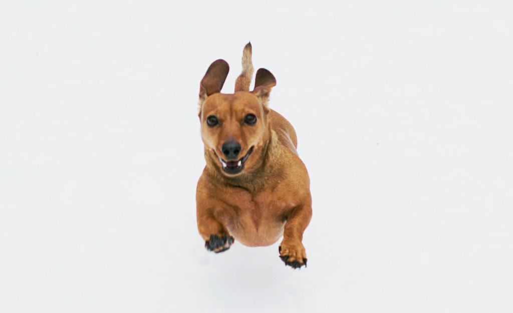 강아지 지능 순위
