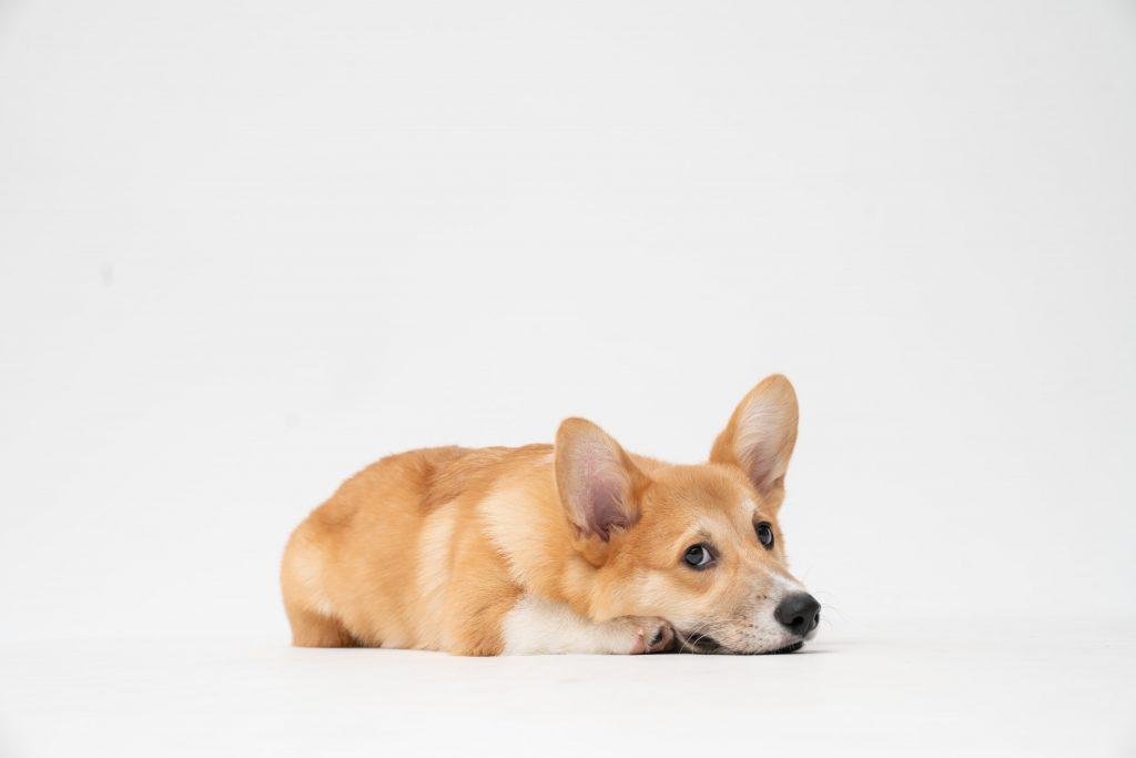 강아지 낑낑 소리